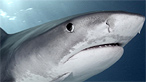 A tiger shark on BBC Nature