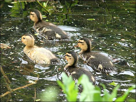These ducklings are out on one of their first swimming lessons...