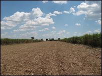 Plantaţie de trestie de zahăr