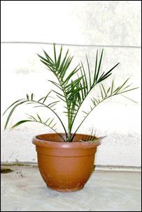 Planta de tâmara (Foto: Guy Eisner / Cortesia da Science Magazine)