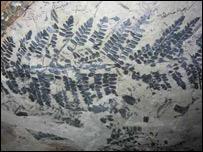 Fóssil de uma espécie de samambaia. Foto: Illinois State Geological Survey