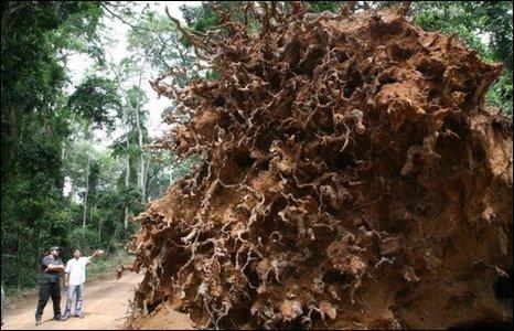 Sergide kullanılan ağaç kökleri