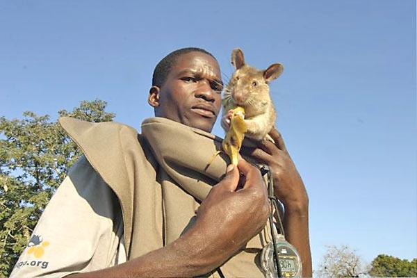 Гамбийская крыса сапёр